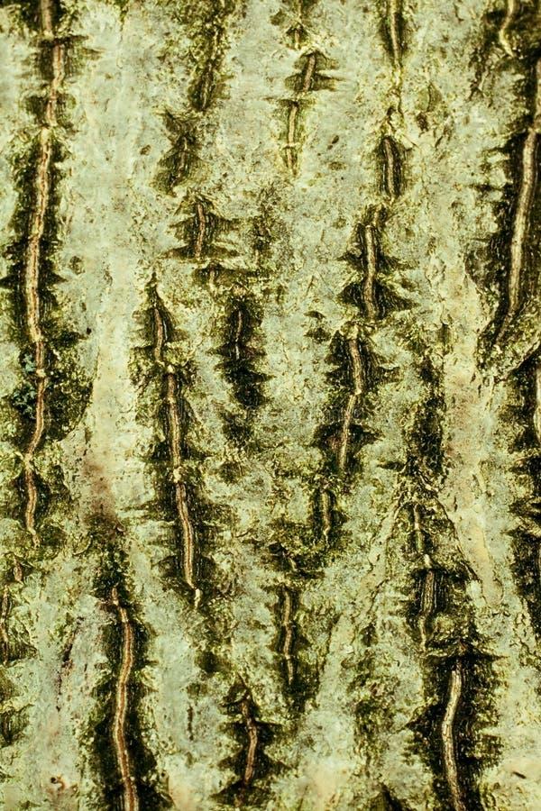 Hintergrund der Barke der geläufigen Walnuss lizenzfreies stockfoto