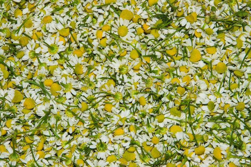 Hintergrund der Blumenkamille Matricaria chamomilla Kamillenapotheke lizenzfreie stockbilder