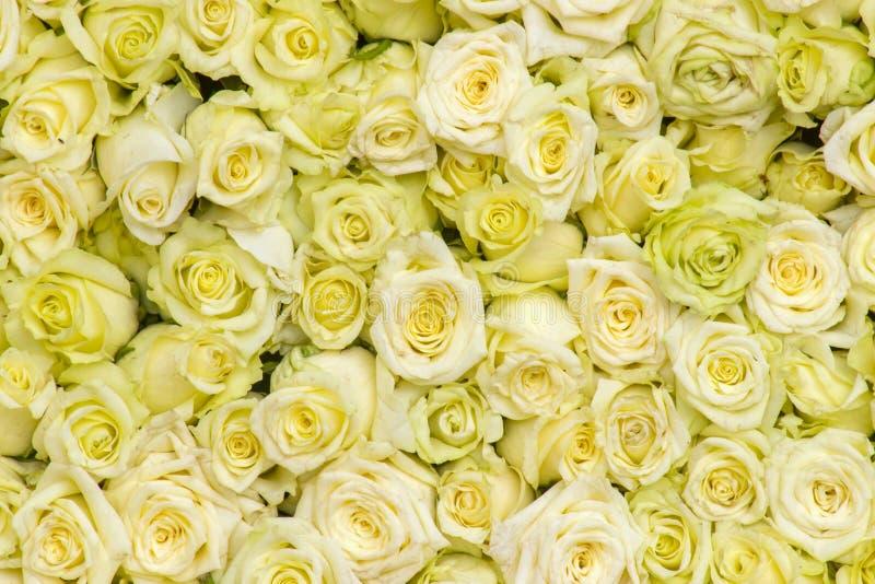 Hintergrund der gelben Rosen lizenzfreies stockbild