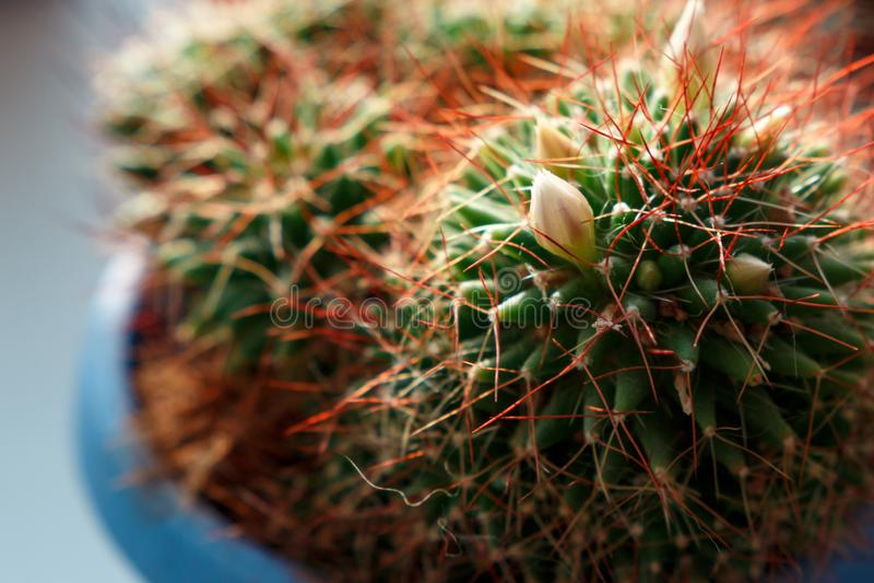 Hintergrund der Kaktusblumennahaufnahme lizenzfreie stockfotos