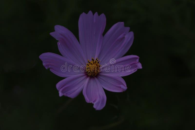 Hintergrund der natürlichen Schönheit Purpurfarbene Kosmetikblume auf schwarzem Hintergrund lizenzfreie stockbilder