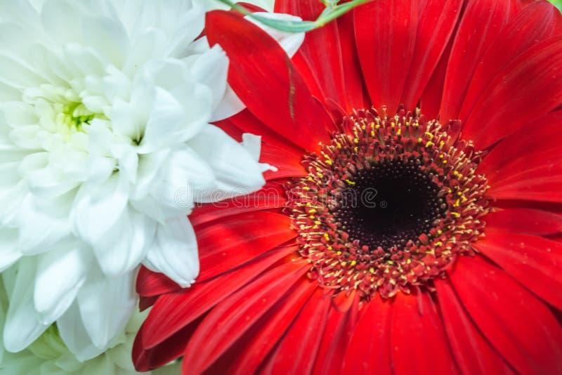 Hintergrund der roten Gerberablume und weiße Chrysanthemenblumen schließen oben stockbild