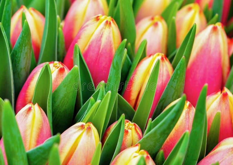 Hintergrund der Tulpen lizenzfreie stockfotografie