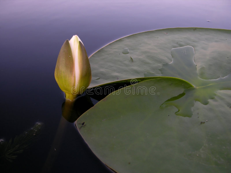 Hintergrund der Wasser-Lilie lizenzfreies stockbild