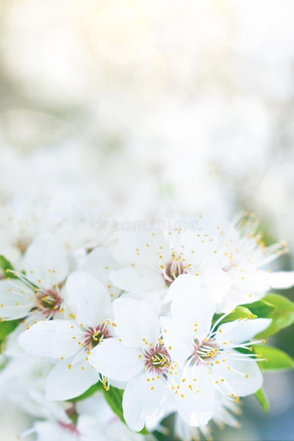 Hintergrund der weißen Blume des Frühlinges Aprikose, süße Kirscheblütenbaum, weiße Kirschblüte-Blumen und grüne Blätter auf boke stockfotos