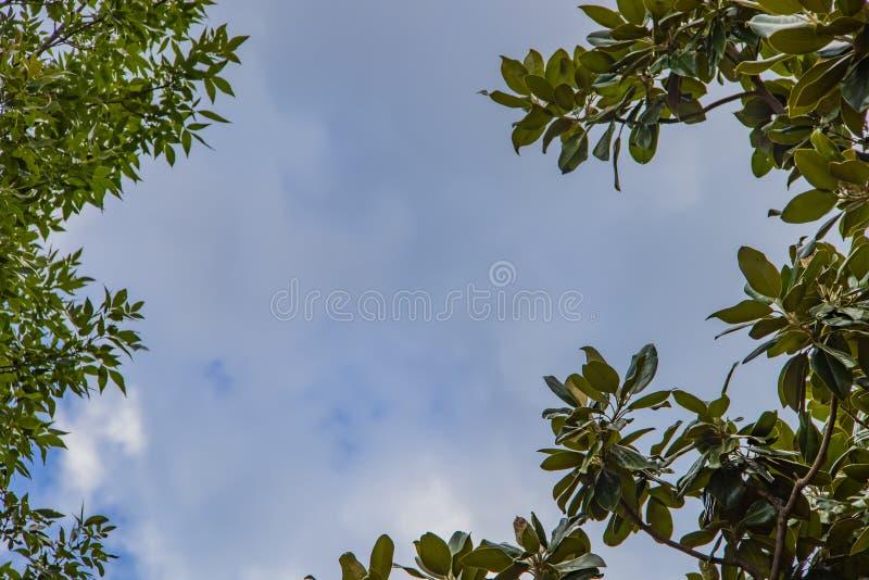 Hintergrund des bewölkten Himmels mit den Flecken des Blaus gestaltet mit Magnolie und Eschenblättern auf Baumraum für Kopie lizenzfreie stockfotografie