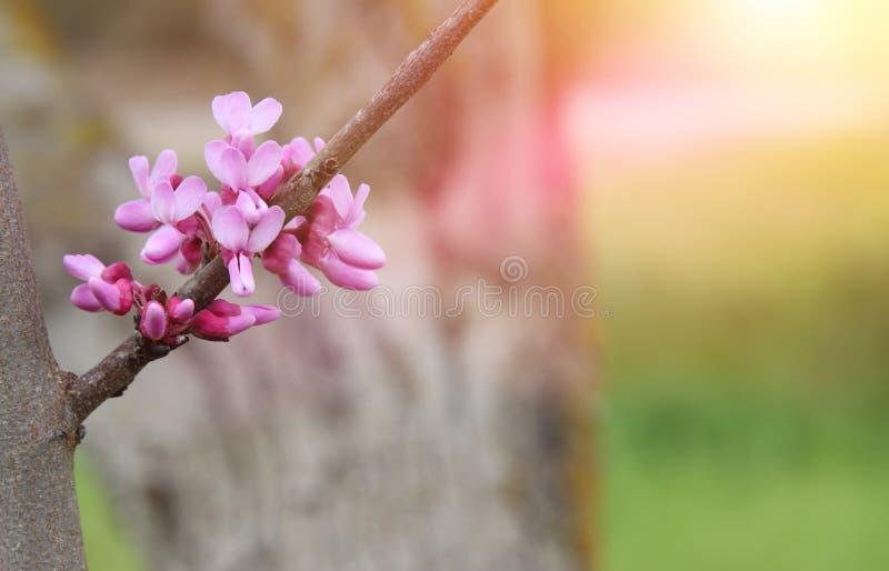 Hintergrund des Frühlingsrosa-Kirschblütenbaums Selektiver Fokus lizenzfreies stockfoto