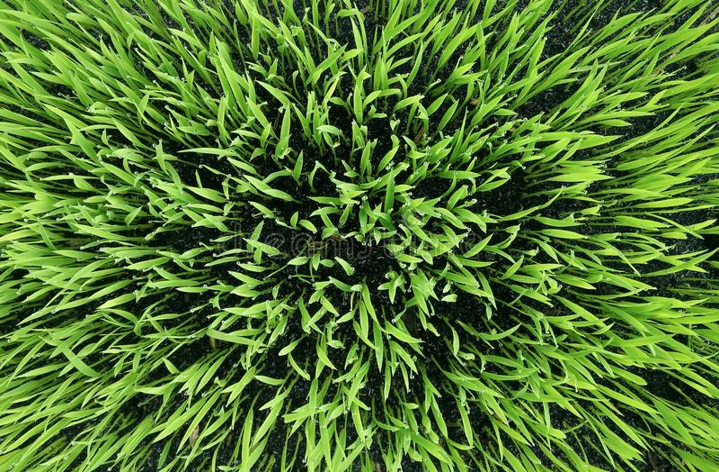 Hintergrund des grünen Grases Beschaffenheit des grünen Grases, abstrakt stockbilder