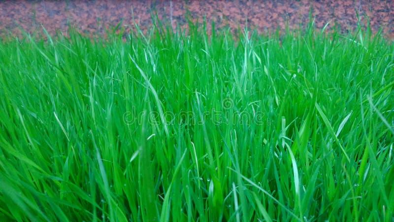Hintergrund des köstlichen grünen Rasens lizenzfreies stockfoto