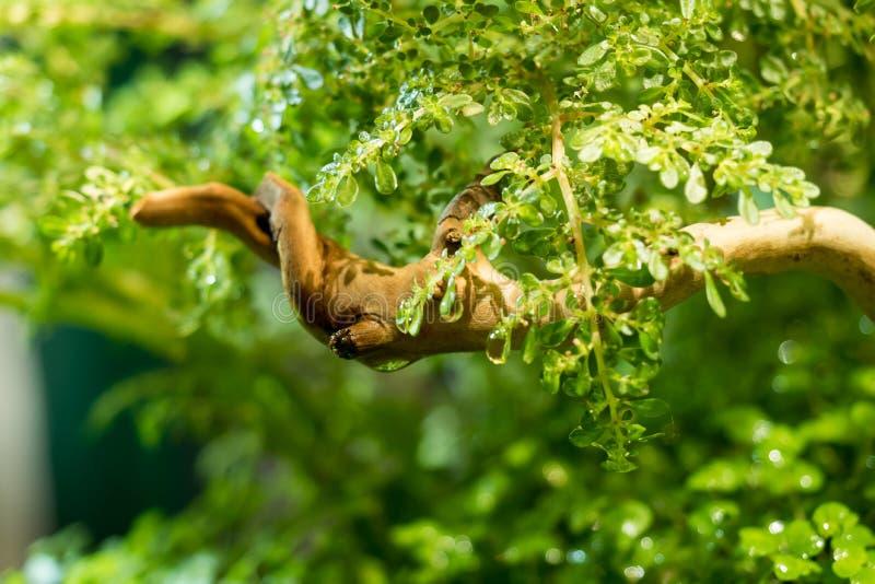Hintergrund des selektiven Fokus des grünen schönen tropischen Frischwasseraquariums stockfotografie