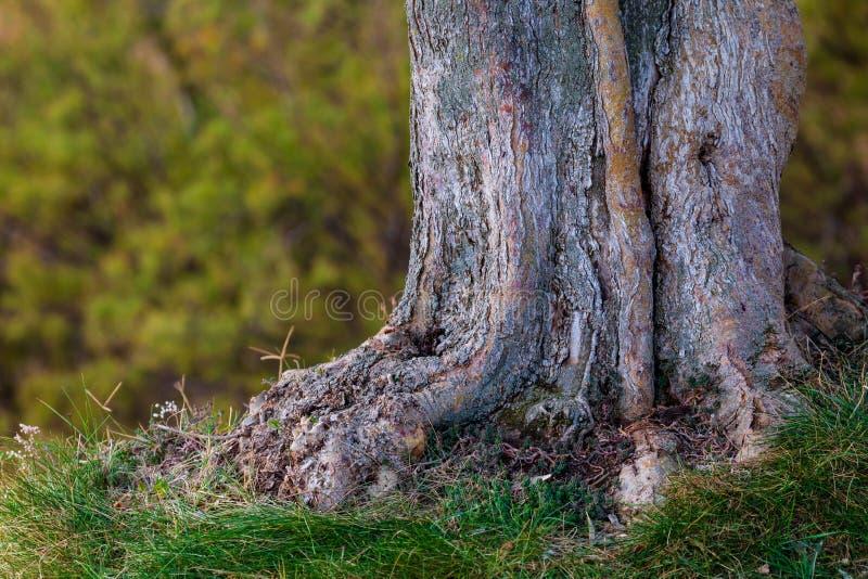 Hintergrund des Stammes und Wurzeln des Olivenbaums Defocused Beschaffenheit w lizenzfreie stockfotos