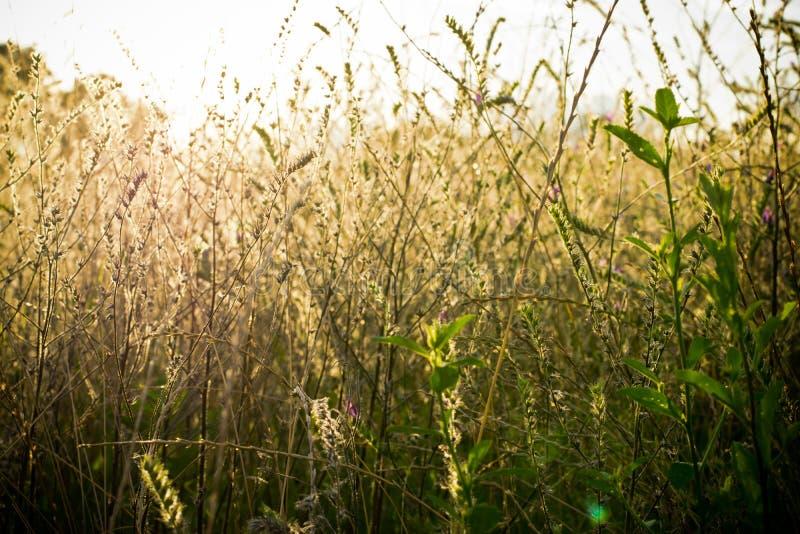 Hintergrund des trockenen Grases mit Licht eines sonnigen Nachmittages lizenzfreies stockfoto