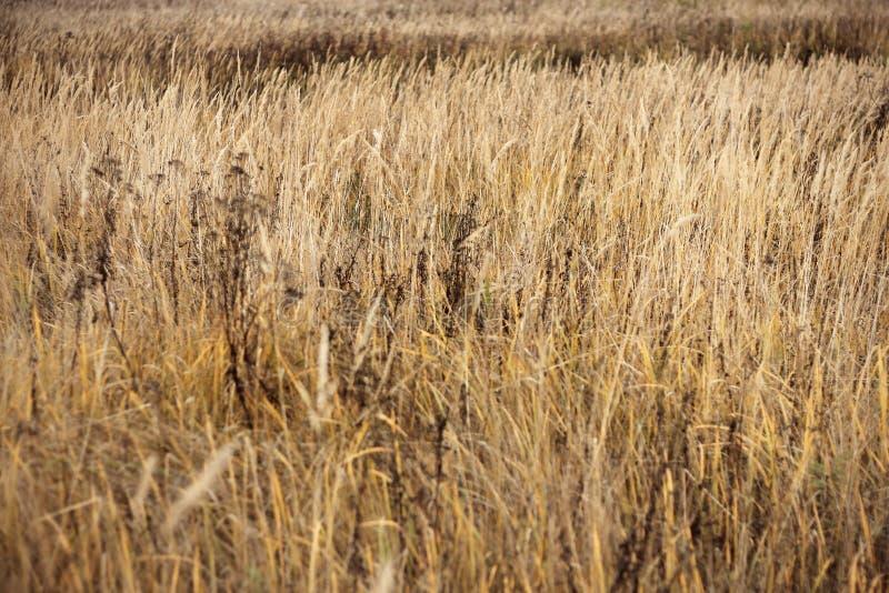 Hintergrund des trockenen Steppengrases, Beschaffenheit für Entwurf, Herbstwetter stockfotografie