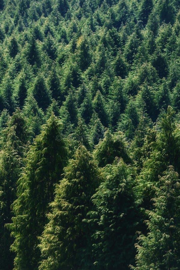 Hintergrund des Waldes mit Nadelbaummuster lizenzfreies stockfoto