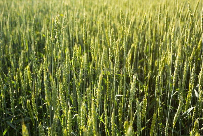 Hintergrund eines grünen Weizenfeldes, Ährchen im Sonnenlicht lizenzfreie stockfotos