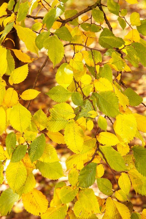 Hintergrund für gelbe Blätter im Herbst BirkenÄste mit goldenen Blättern in Sonnenschein lizenzfreies stockfoto