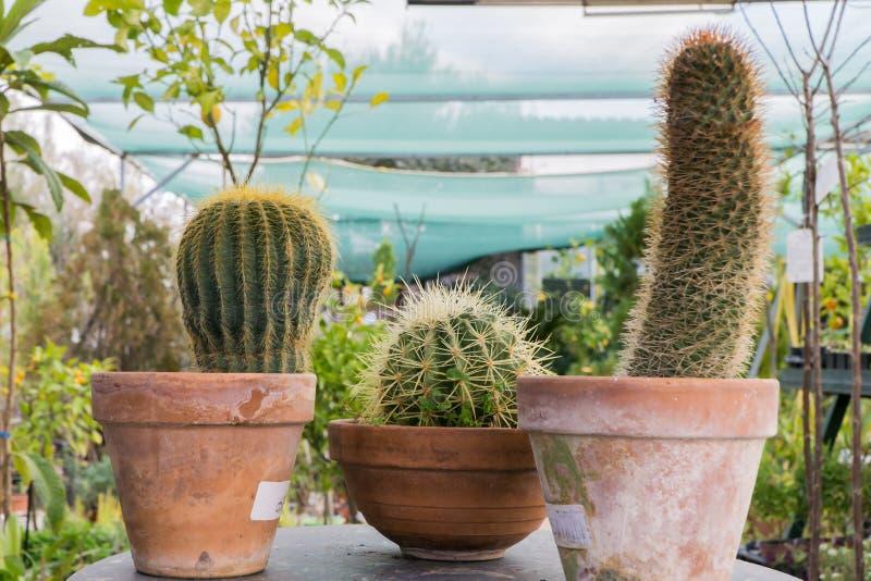 Hintergrund, Kakteen, Natur, Lehm, Kaktus, Topf, Blume, Anlage, Succulents, Töpfe, Garten, Grün, Succulent, Weiß, natürlich, Wach lizenzfreies stockfoto