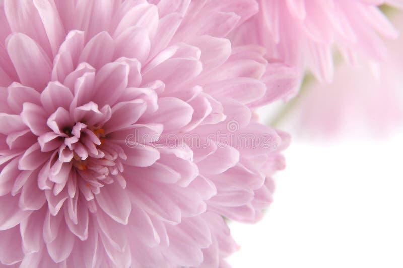 Hintergrund mit einer Chrysantheme lizenzfreie stockfotografie