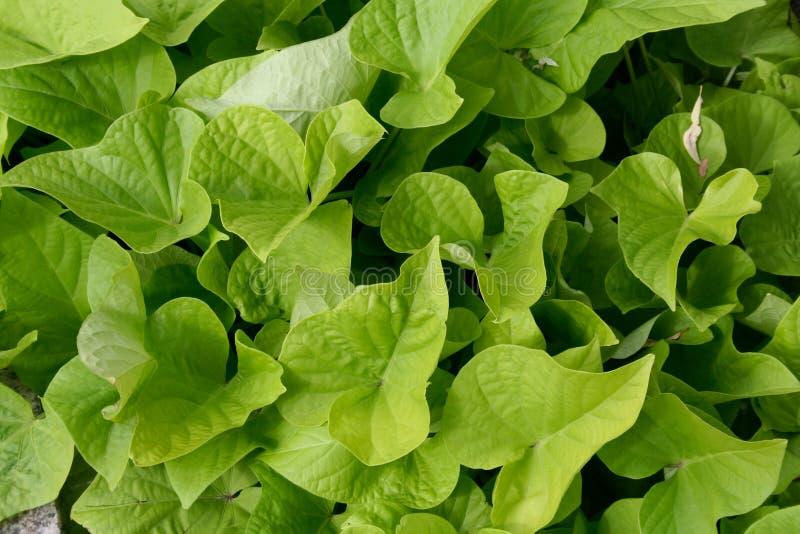 Hintergrund mit frischen Kopfsalatblättern stockbild