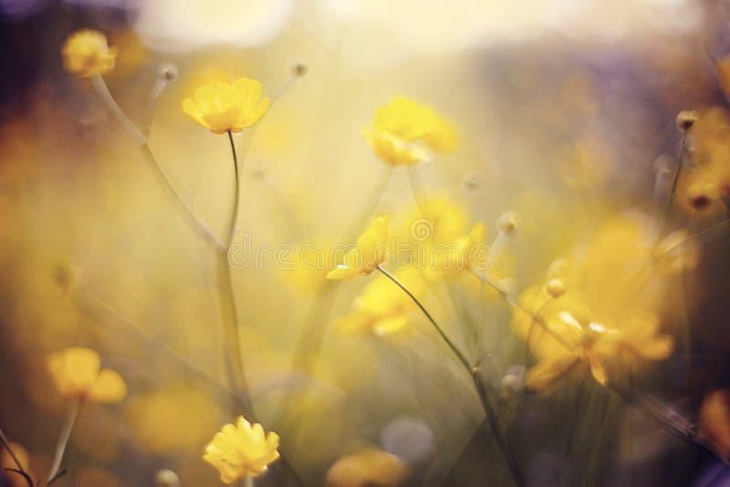 Hintergrund mit gelben Wildflowers einer Butterblume stockfotografie