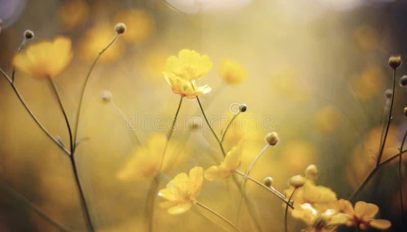 Hintergrund mit gelben Wildflowers einer Butterblume lizenzfreie stockbilder