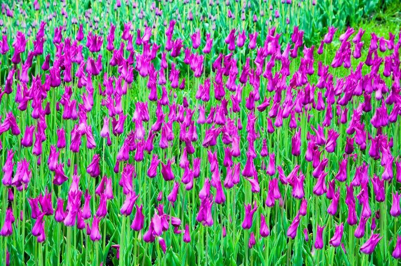 Hintergrund mit Tulpen stockfotos