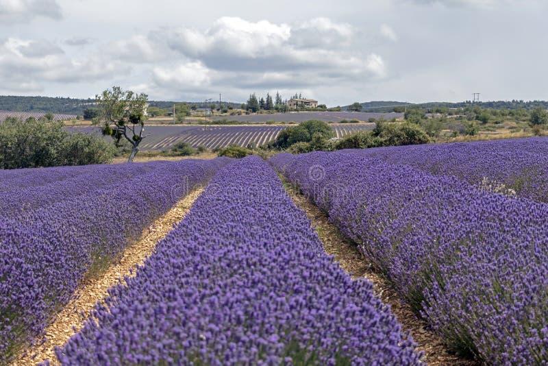 Hintergrund mit vibrierenden purpurroten Lavendelfeldern am Gebirgs-, spät blühenden Standort in Provence, Frankreich stockfotografie