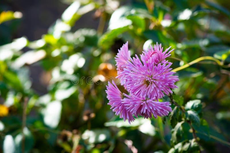 Hintergrund-Naturkunst der purpurroten Frühlingsblumen grüne stockfotos