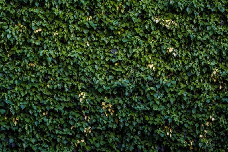 Hintergrund oder Beschaffenheit von einer grünen monophonischen Wand vom Windenefeu lizenzfreies stockbild