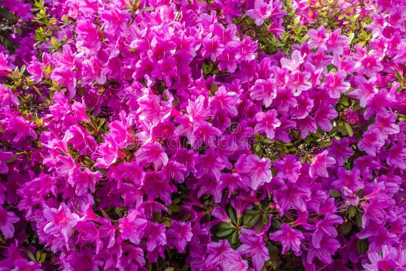 Hintergrund-rosa Azaleen lizenzfreie stockfotos