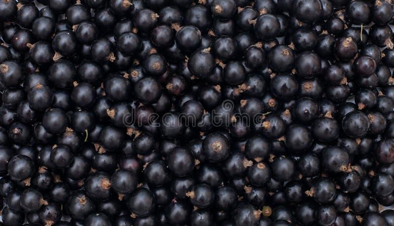 Hintergrund von den frischen Beeren der Schwarzen Johannisbeere, Abschluss oben lizenzfreie stockbilder