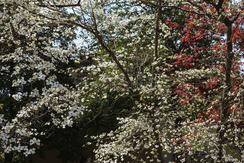 Hintergrund von Hartriegelblüten im Vorfrühling stockfoto