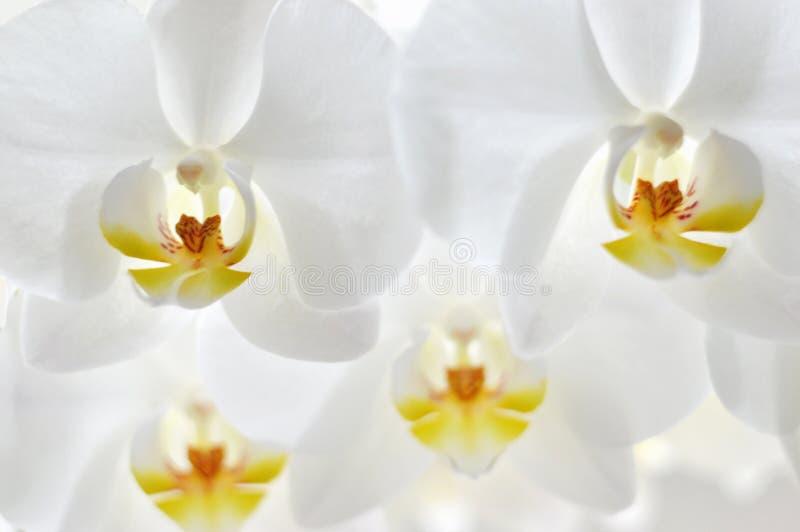 Hintergrund von Orchideen lizenzfreie stockfotos