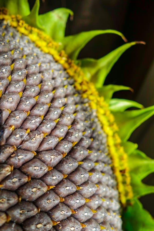 Hintergrund von reifen Samen in einer Sonnenblume als Erntekonzept stockfoto