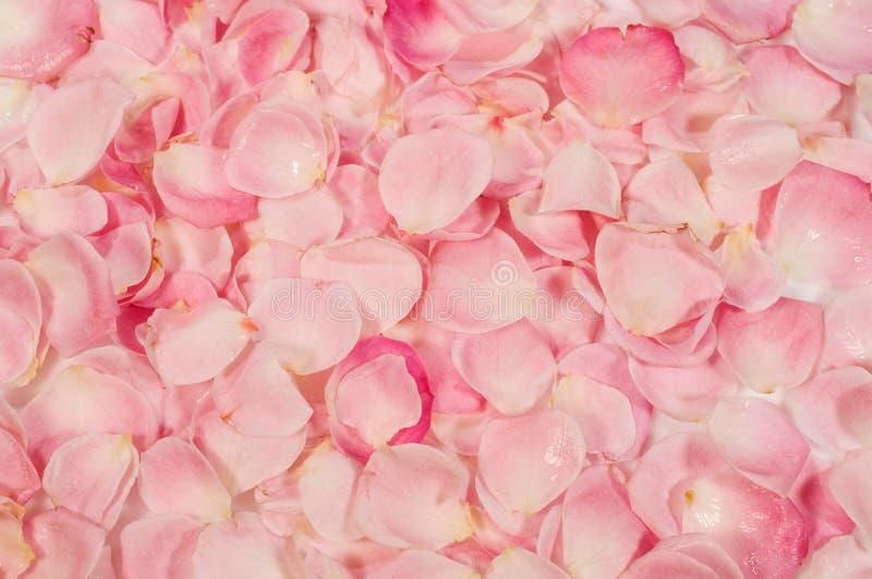 Hintergrund von rosafarbenen Blumenblättern stockbild