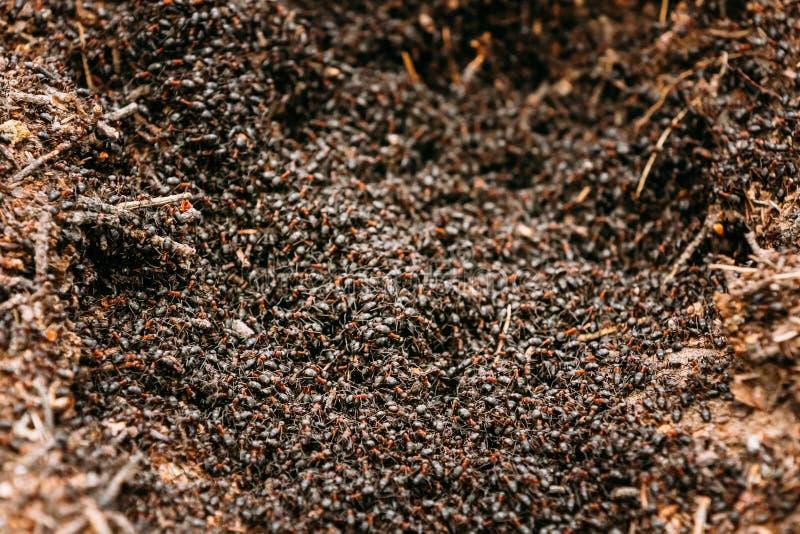 Hintergrund von rotem Ant Colony Formica Rufa stockfotografie