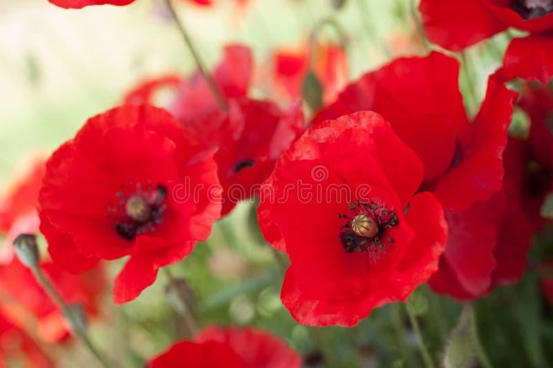 Hintergrund von roten Mohnblumen in einem Blumenbeet stockbilder