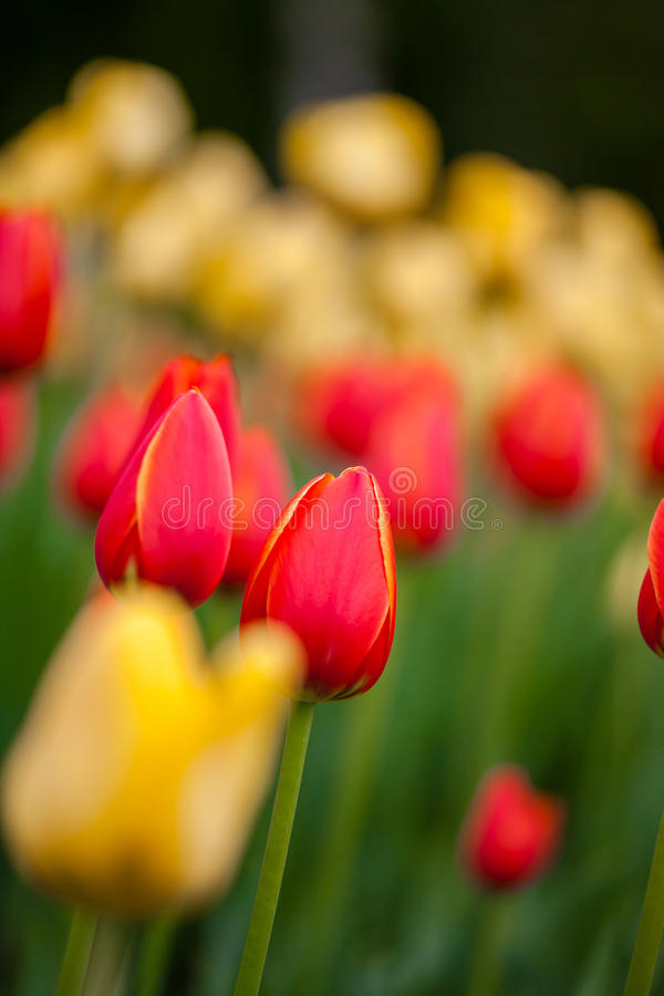 Hintergrund von roten und gelben Tulpen stockfotografie
