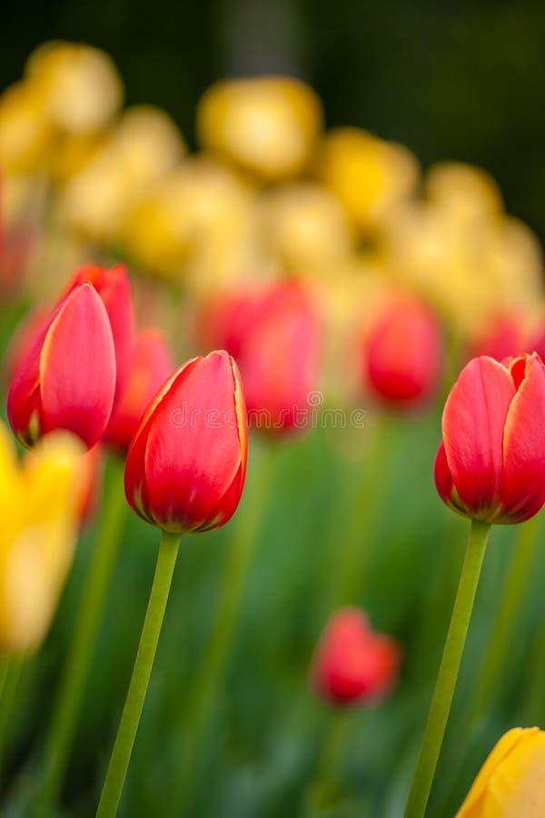Hintergrund von roten und gelben Tulpen lizenzfreie stockfotos