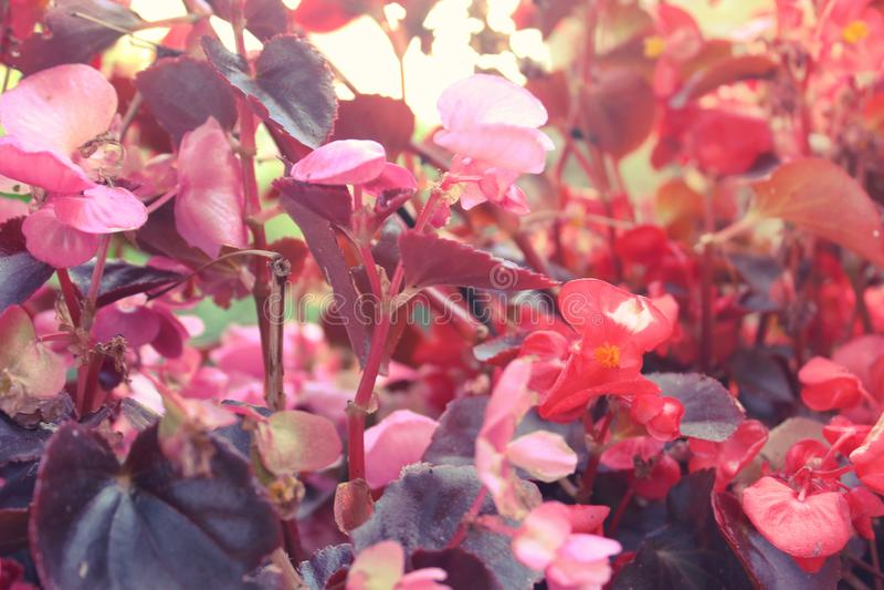 Hintergrund von schönen natürlichen roten und rosa Begonienblumen masern das volle Blühen im Blumengarten für Hintergrund und stockfoto