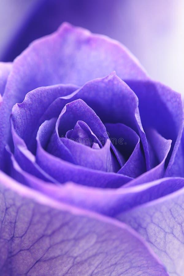 Hintergrund von schönen violetten Rosen lizenzfreie stockfotografie