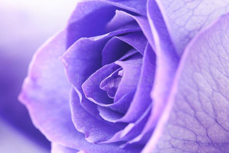 Hintergrund von schönen violetten Rosen lizenzfreie stockbilder