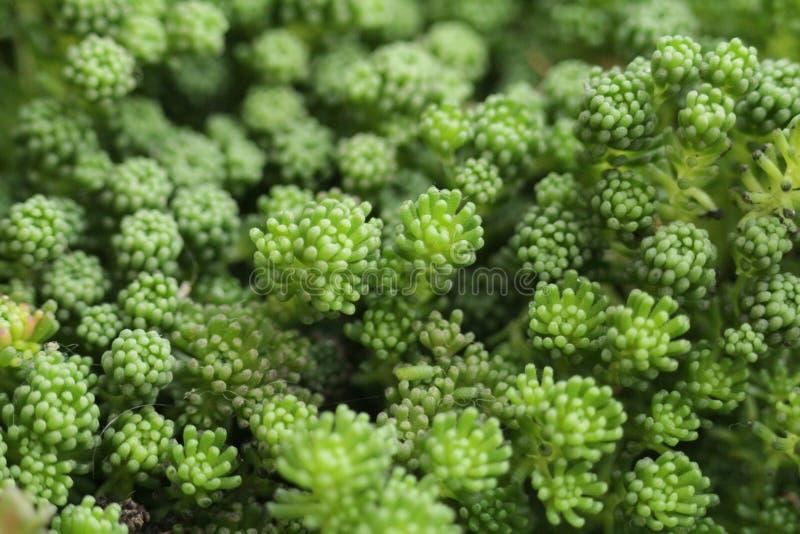 Hintergrund von sedum Grün-Blume closup lizenzfreie stockbilder