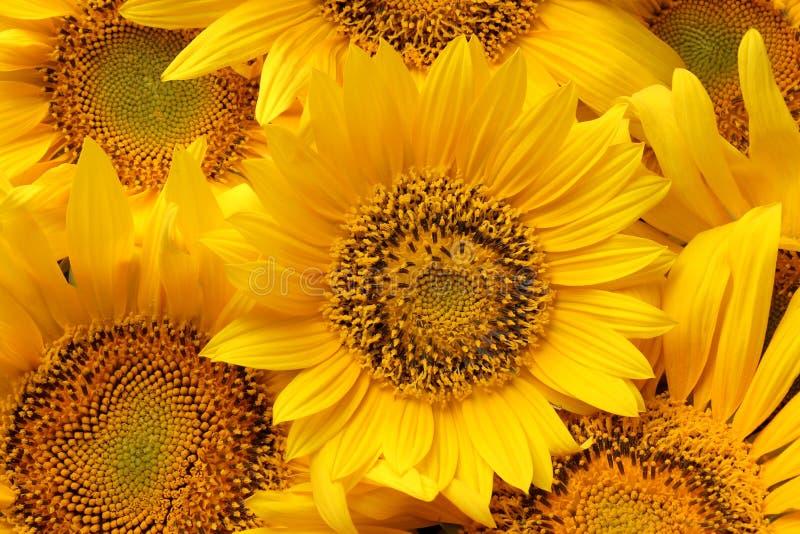 Hintergrund von Sonnenblumen Nahaufnahme vieler helle schöne gelbe Sonnenblumen lizenzfreie stockbilder