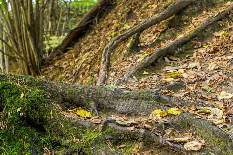 Hintergrund von Waldwurzeln von Bäumen vor dem hintergrund der Erde bedeckt mit gefallenen Blättern stockbilder