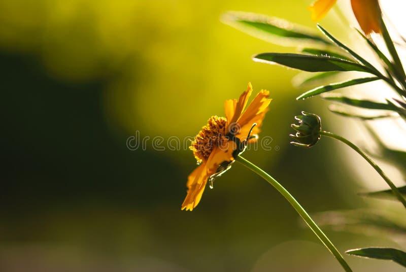 Hintergrundbeleuchtete Coreopsis-Blume stockfoto