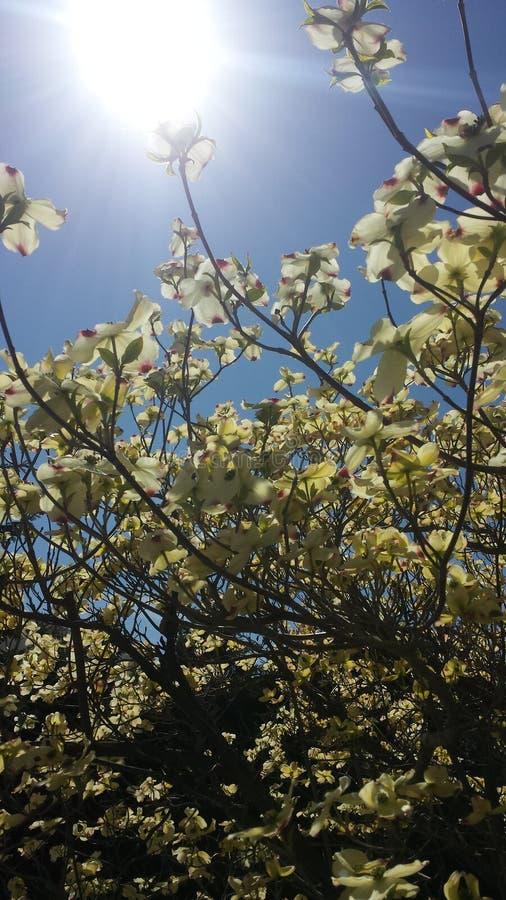 Hintergrundbeleuchtete Magnolien stockbilder