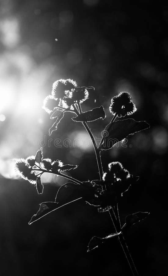 Hintergrundbeleuchteter blühender Wildflower, der sich im Sonnenlicht aalt lizenzfreie stockfotos
