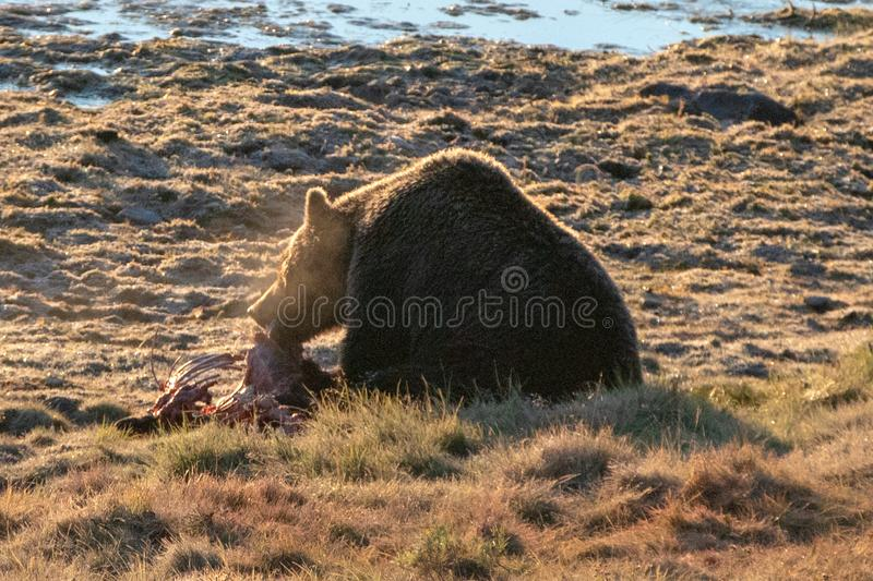 Hintergrundbeleuchteter Grizzlybär mit dem eingenebelten Atem, der auf Elchkalbkarkasse durch Yellowstone River in Hayden Valley  lizenzfreie stockfotografie