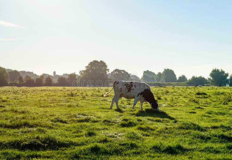 Hintergrundbeleuchtetes Bild eines weiden lassenden Schwarzen beschmutzte Holstein-Kuh stockfoto